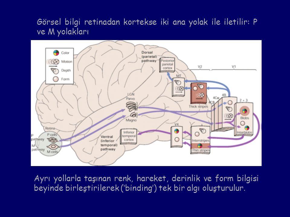 Görsel bilgi retinadan kortekse iki ana yolak ile iletilir: P ve M yolakları