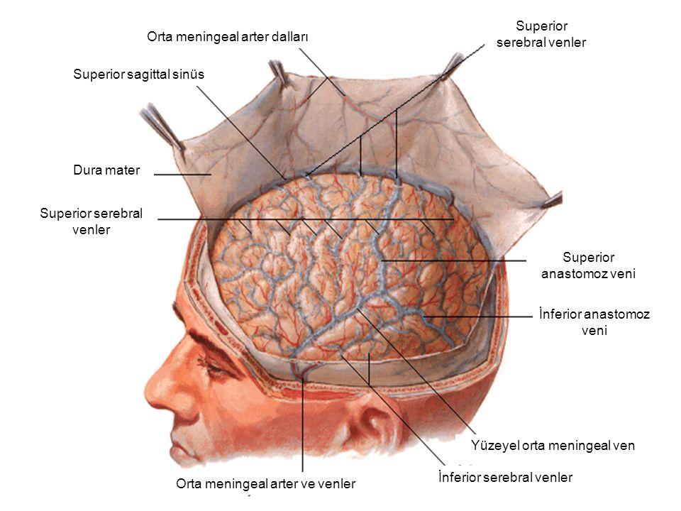 Orta meningeal arter dalları