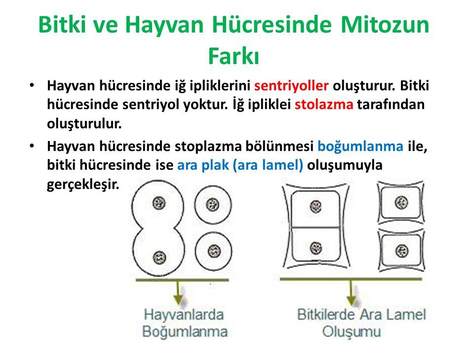 Bitki ve Hayvan Hücresinde Mitozun Farkı