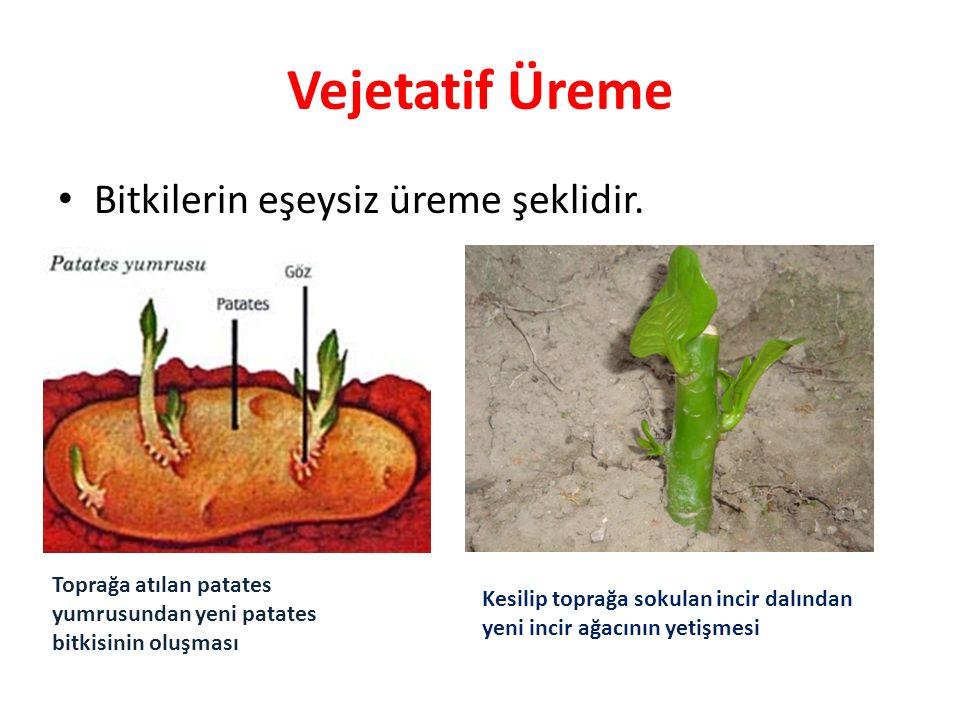 Vejetatif Üreme Bitkilerin eşeysiz üreme şeklidir.