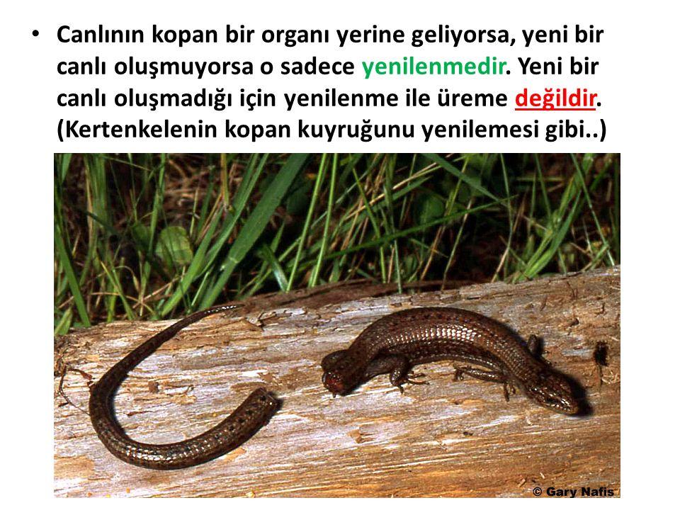 Canlının kopan bir organı yerine geliyorsa, yeni bir canlı oluşmuyorsa o sadece yenilenmedir.
