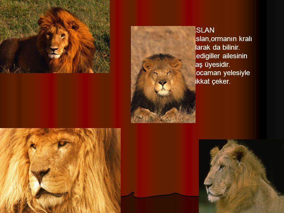 ASLAN Aslan,ormanın kralı olarak da bilinir. Kedigiller ailesinin baş üyesidir.