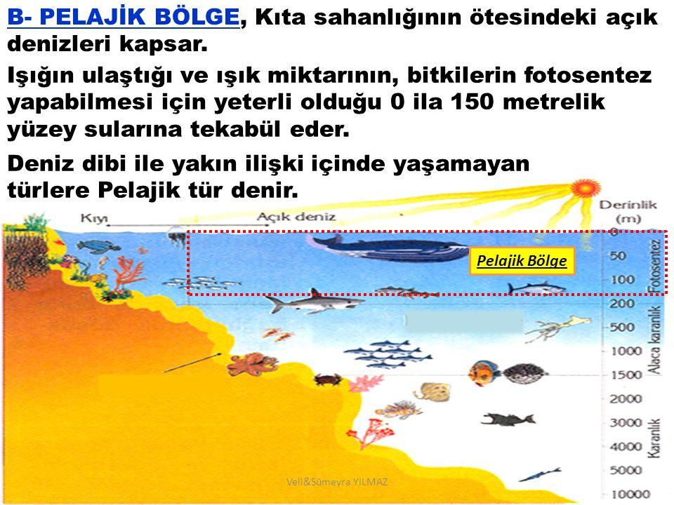 B- PELAJİK BÖLGE, Kıta sahanlığının ötesindeki açık denizleri kapsar.