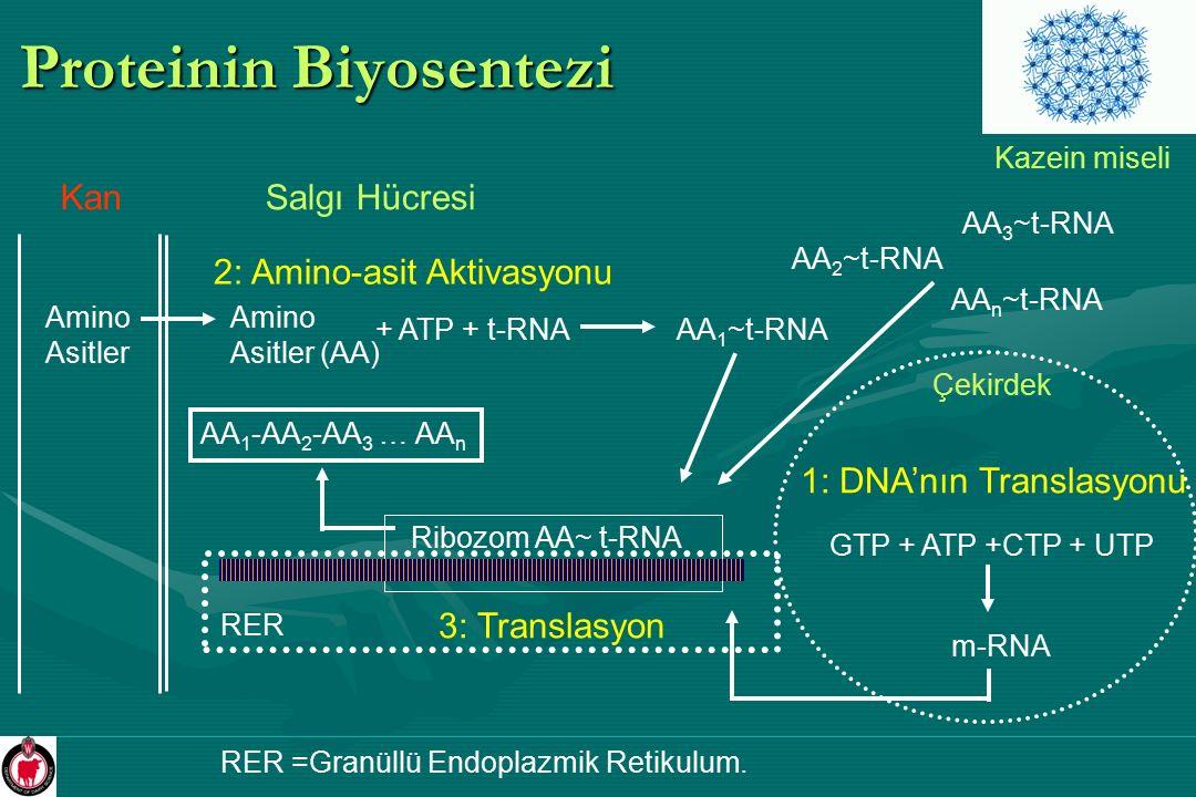 Proteinin Biyosentezi
