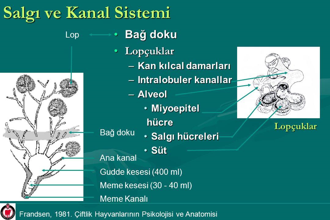 Salgı ve Kanal Sistemi Bağ doku Lopçuklar Kan kılcal damarları