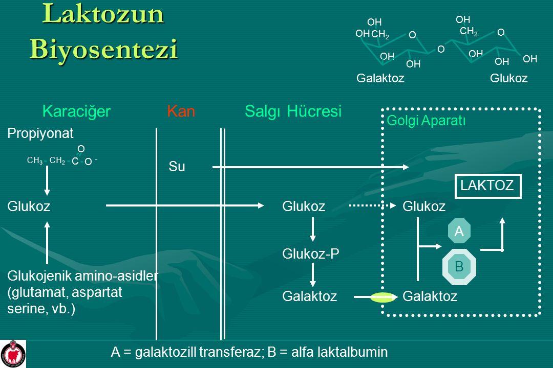 Laktozun Biyosentezi Karaciğer Kan Salgı Hücresi Golgi Aparatı
