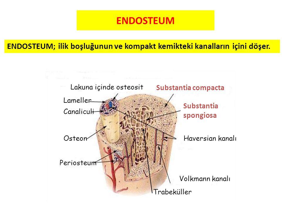 ENDOSTEUM ENDOSTEUM; ilik boşluğunun ve kompakt kemikteki kanalların içini döşer. Lakuna içinde osteosit.