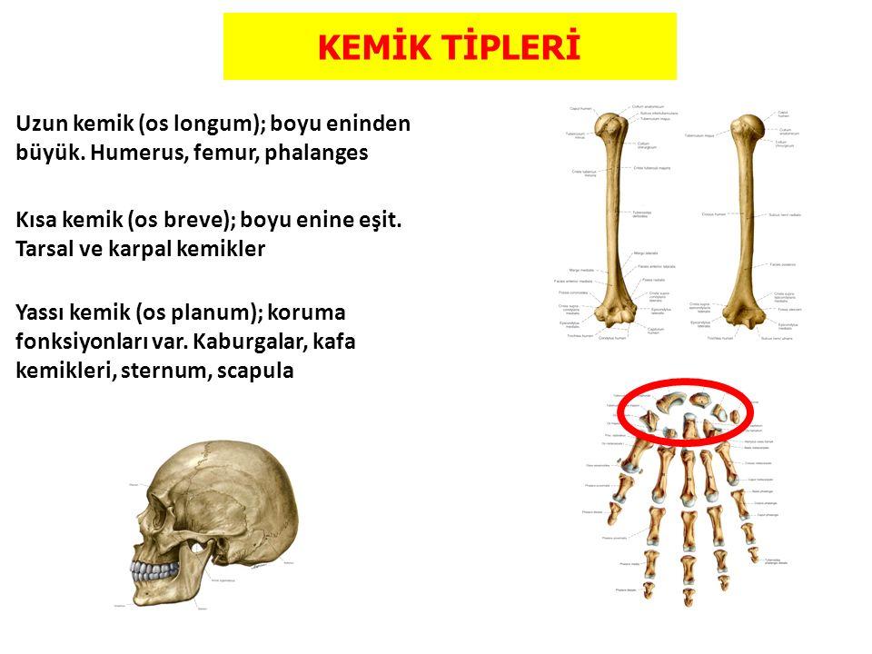 KEMİK TİPLERİ Uzun kemik (os longum); boyu eninden büyük. Humerus, femur, phalanges.