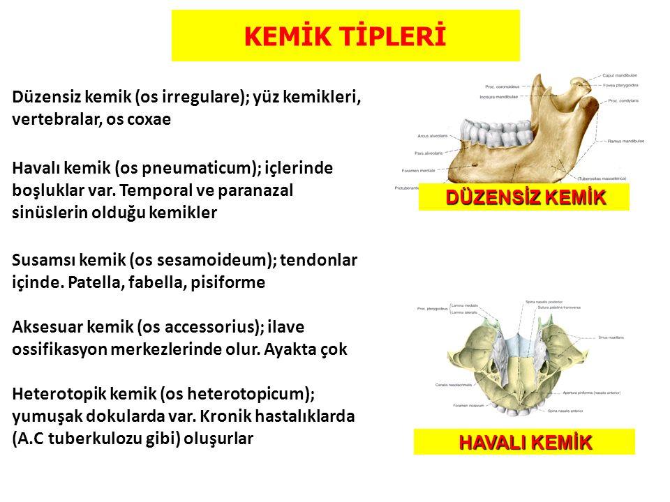 KEMİK TİPLERİ Düzensiz kemik (os irregulare); yüz kemikleri, vertebralar, os coxae.