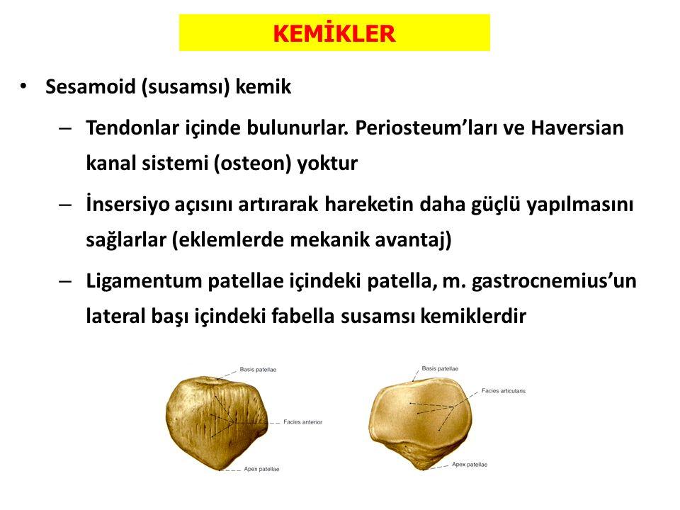 KEMİKLER Sesamoid (susamsı) kemik