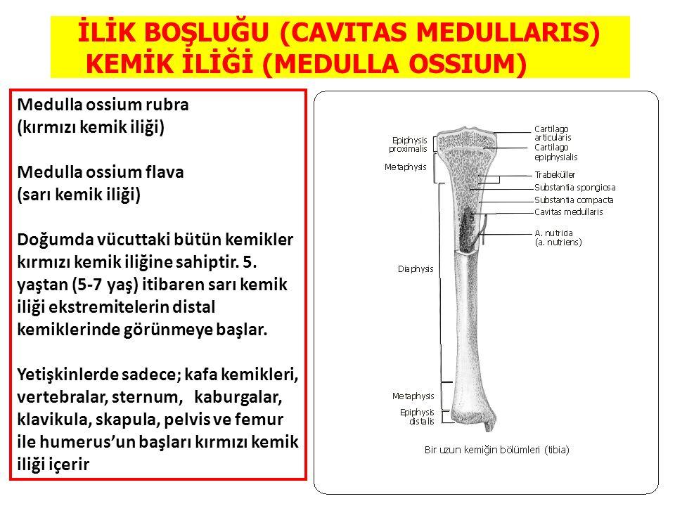 İLİK BOŞLUĞU (CAVITAS MEDULLARIS) KEMİK İLİĞİ (MEDULLA OSSIUM)