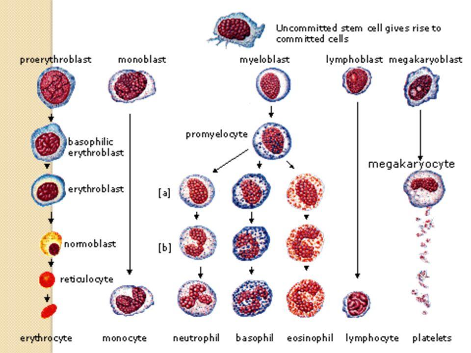 Kemik iliğinde hemopoetik kök hücre denen çok yönde farklılaşabilen hücreler vardır bu hücrelerden her tip kan hücresi gelişebilir