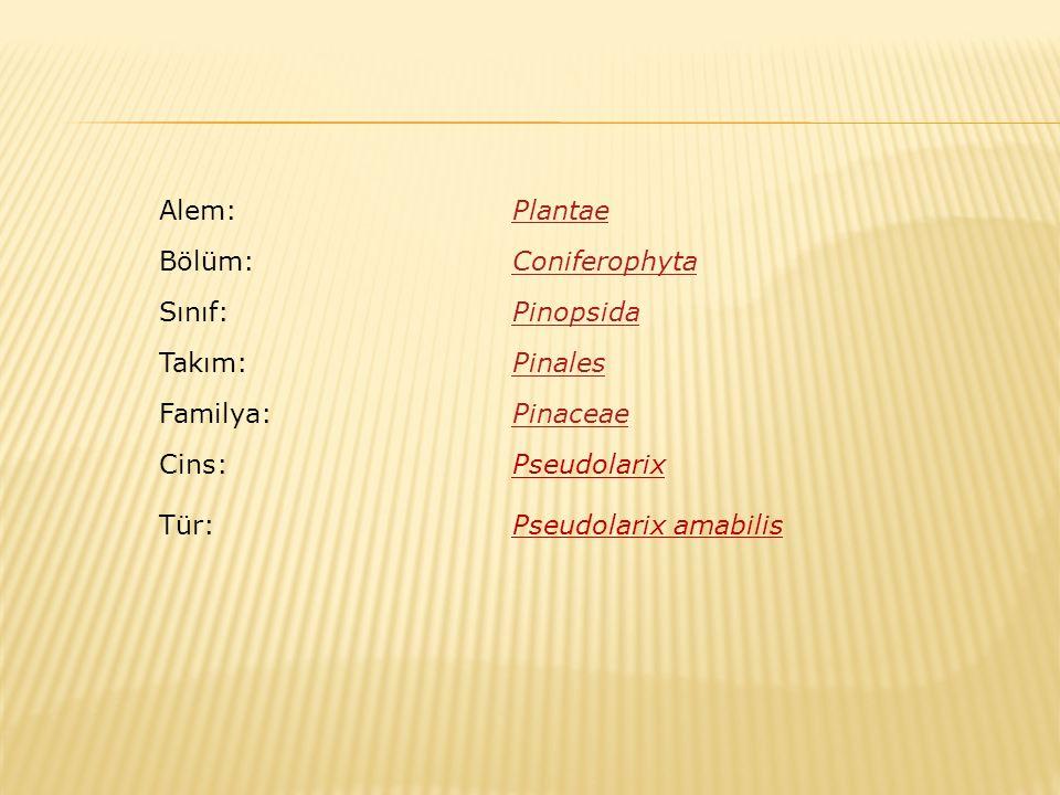 Alem: Plantae. Bölüm: Coniferophyta. Sınıf: Pinopsida. Takım: Pinales. Familya: Pinaceae. Cins: