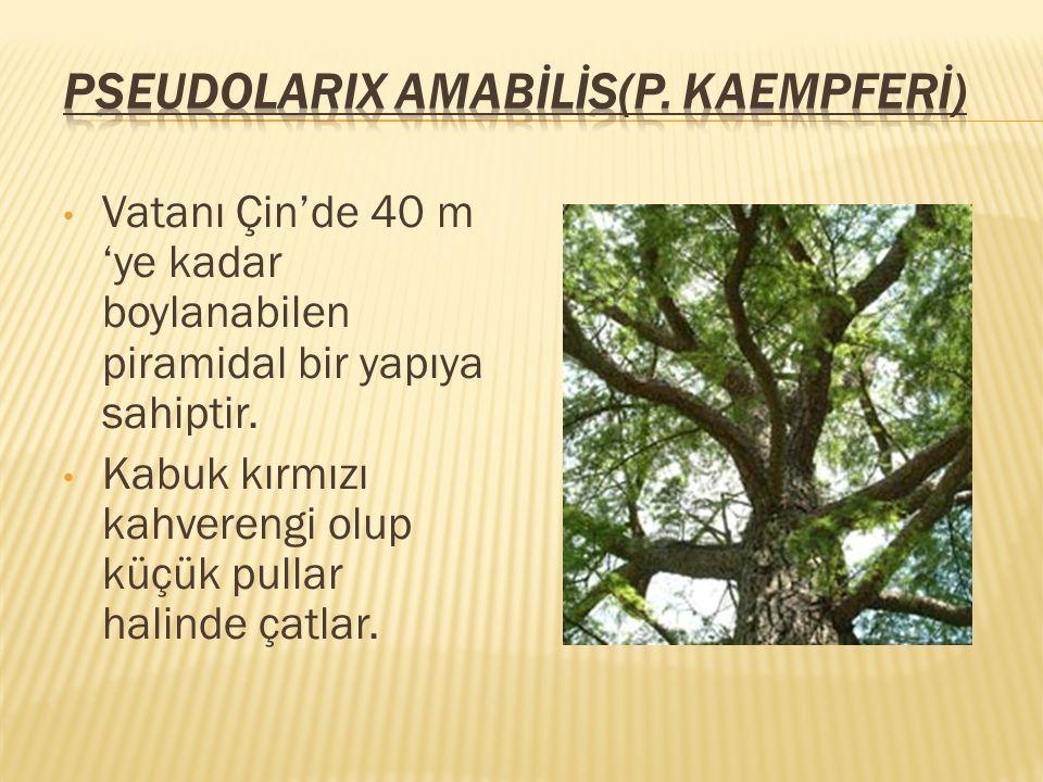 Pseudolarix AMABİLİS(P. KAEMPFERİ)