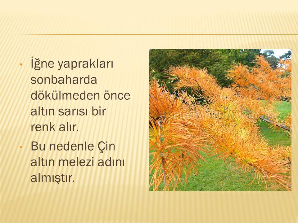 İğne yaprakları sonbaharda dökülmeden önce altın sarısı bir renk alır.