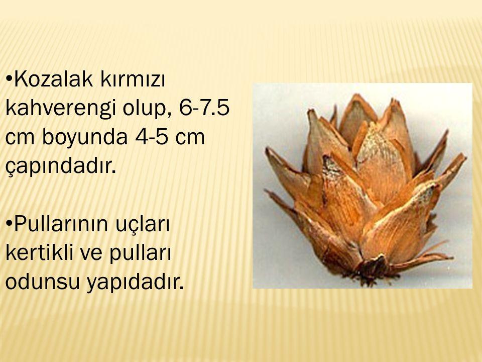 Kozalak kırmızı kahverengi olup, 6-7.5 cm boyunda 4-5 cm çapındadır.
