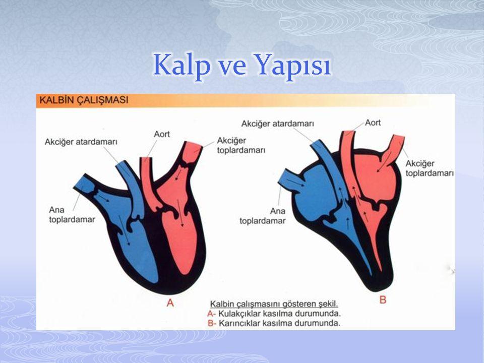 Kalp ve Yapısı