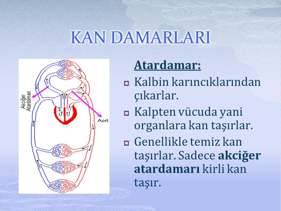 KAN DAMARLARI Atardamar: Kalbin karıncıklarından çıkarlar.