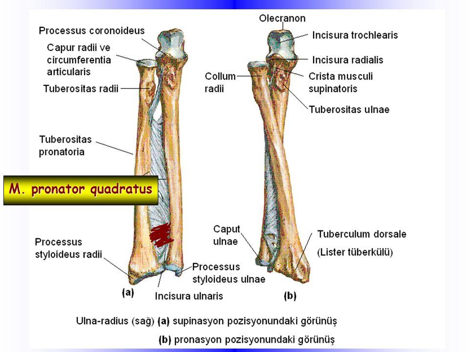Styloideus