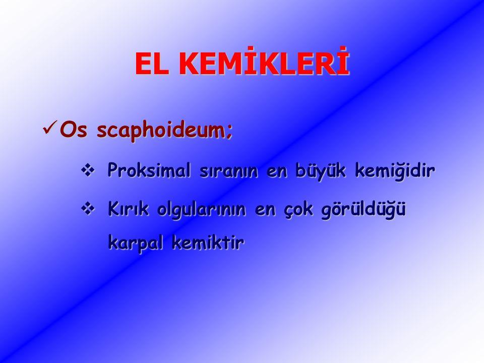 EL KEMİKLERİ Os scaphoideum; Proksimal sıranın en büyük kemiğidir