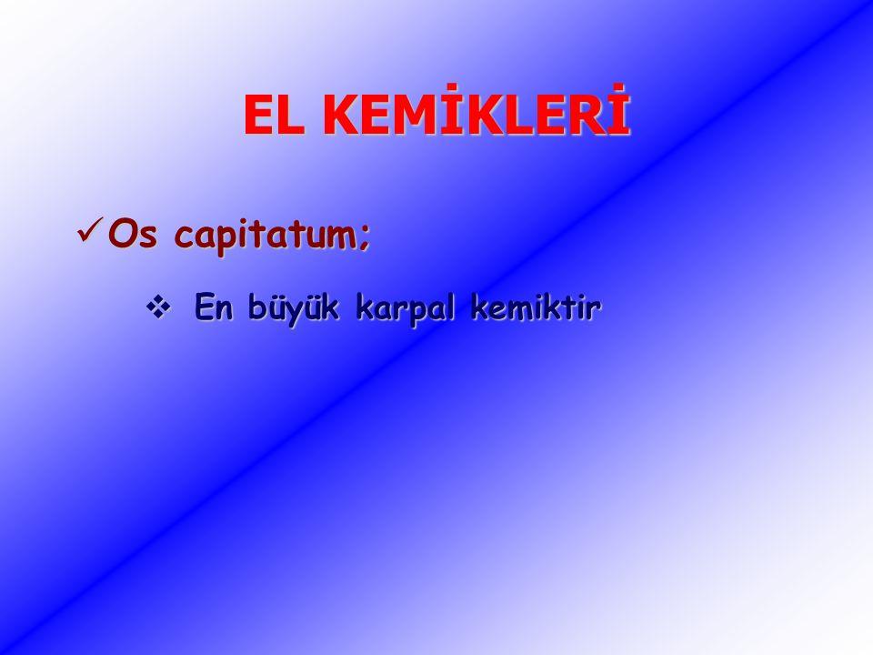 EL KEMİKLERİ Os capitatum; En büyük karpal kemiktir