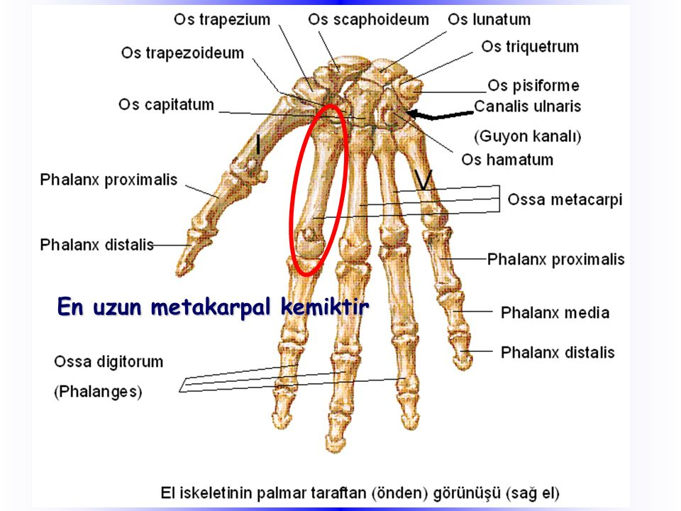 En uzun metakarpal kemiktir