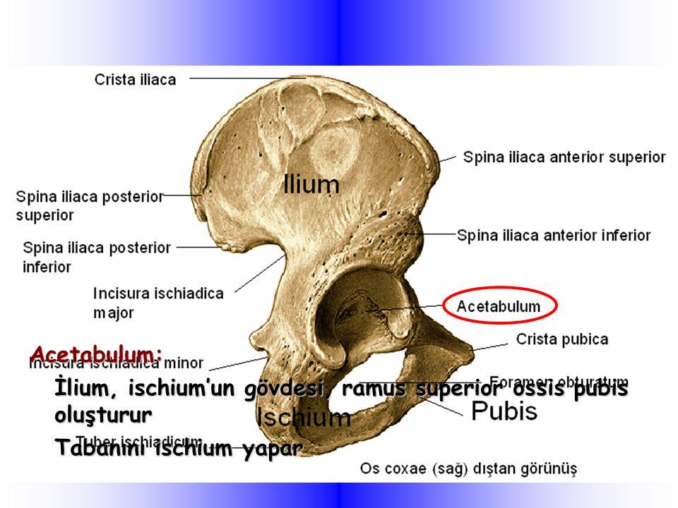 Acetabulum: İlium, ischium'un gövdesi, ramus superior ossis pubis oluşturur Tabanını ischium yapar
