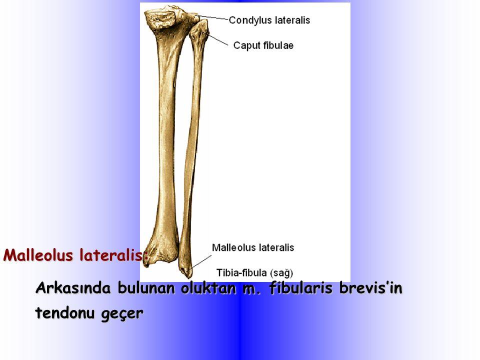 Arkasında bulunan oluktan m. fibularis brevis'in tendonu geçer