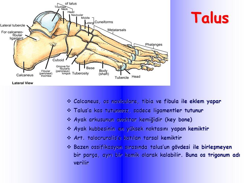 Talus Calcaneus, os naviculare, tibia ve fibula ile eklem yapar