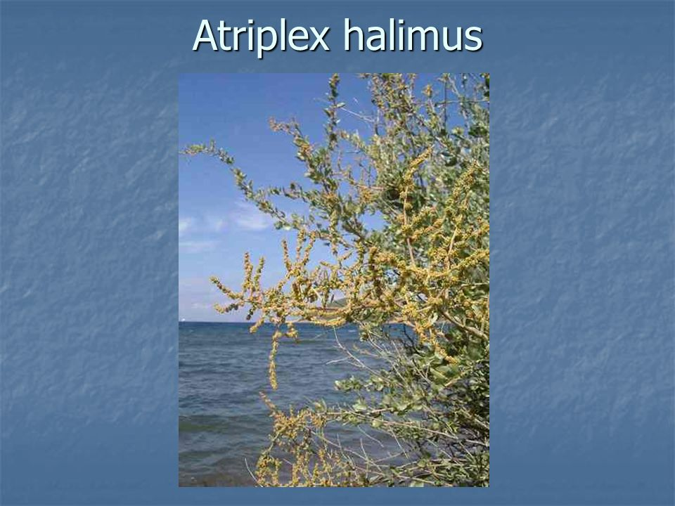 Atriplex halimus