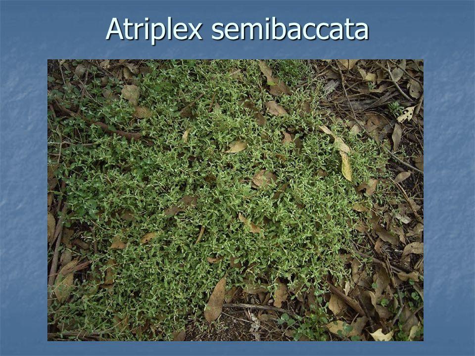 Atriplex semibaccata