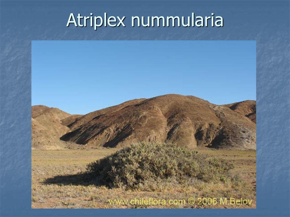 Atriplex nummularia