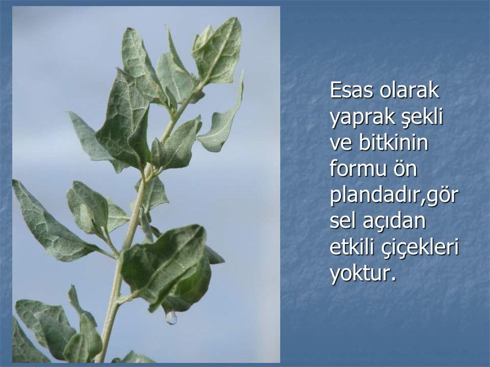 Esas olarak yaprak şekli ve bitkinin formu ön plandadır,görsel açıdan etkili çiçekleri yoktur.