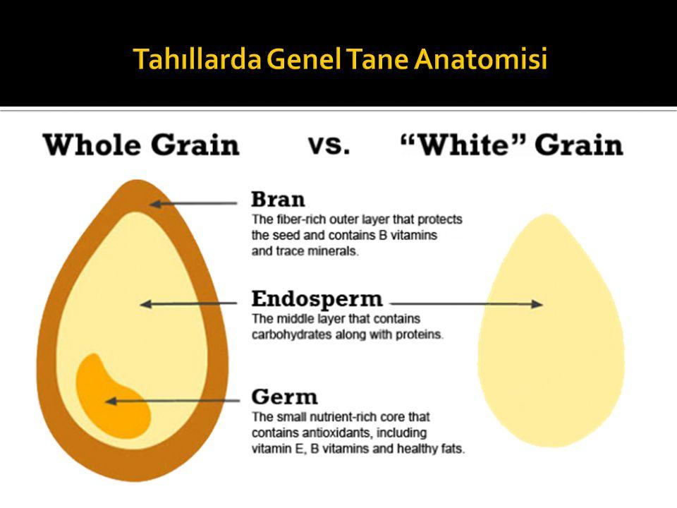 Tahıllarda Genel Tane Anatomisi