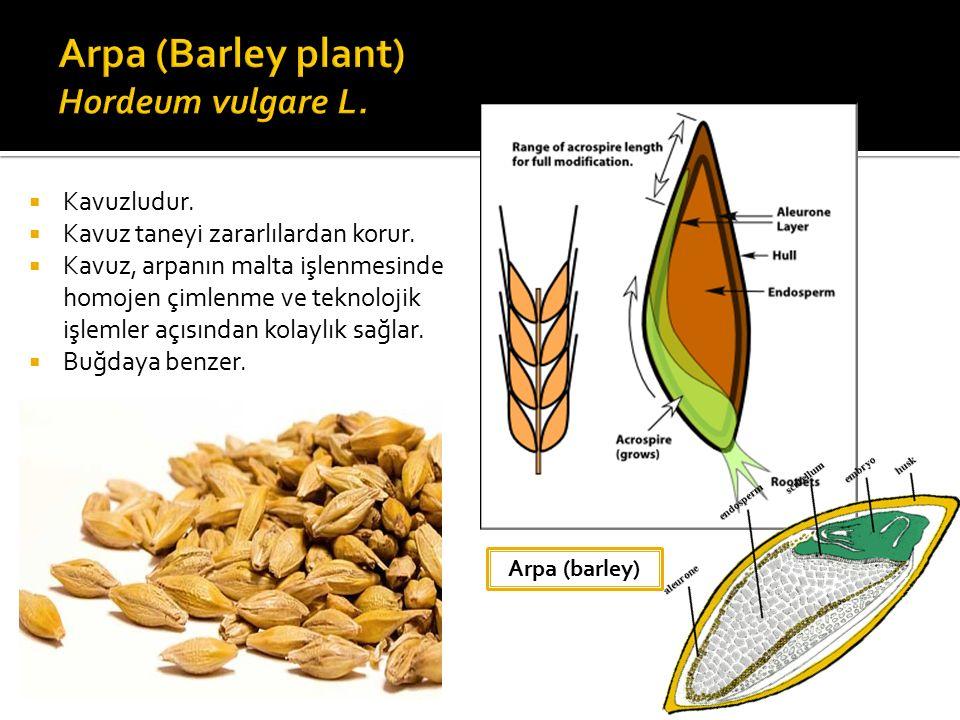 Arpa (Barley plant) Hordeum vulgare L.