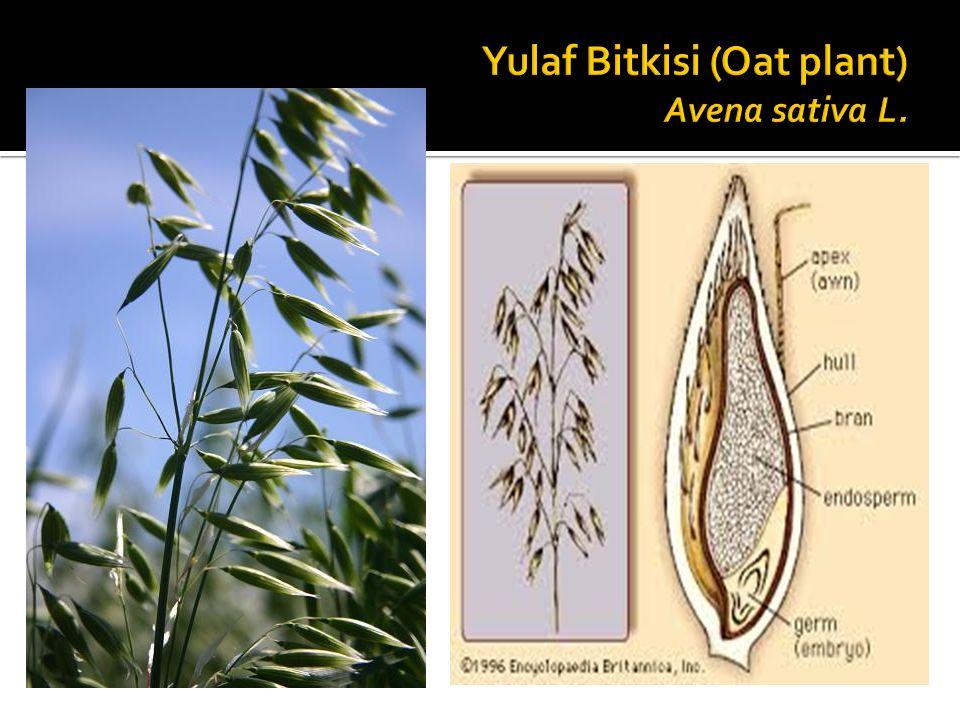 Yulaf Bitkisi (Oat plant) Avena sativa L.