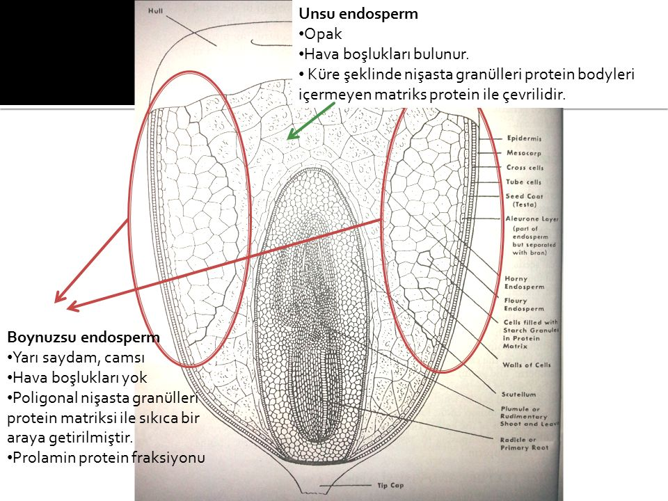 Unsu endosperm Opak. Hava boşlukları bulunur. Küre şeklinde nişasta granülleri protein bodyleri içermeyen matriks protein ile çevrilidir.