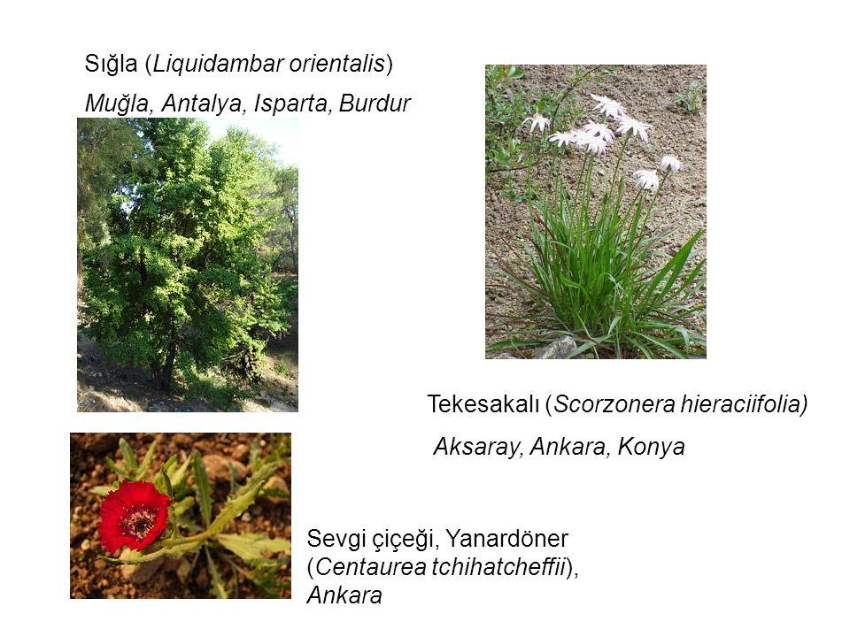 Sığla (Liquidambar orientalis)