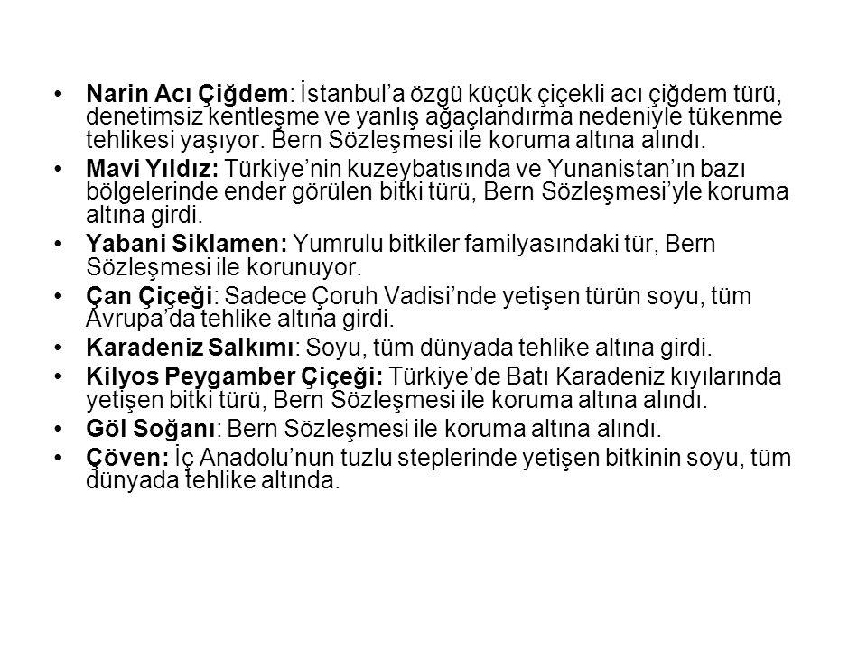 Narin Acı Çiğdem: İstanbul'a özgü küçük çiçekli acı çiğdem türü, denetimsiz kentleşme ve yanlış ağaçlandırma nedeniyle tükenme tehlikesi yaşıyor. Bern Sözleşmesi ile koruma altına alındı.