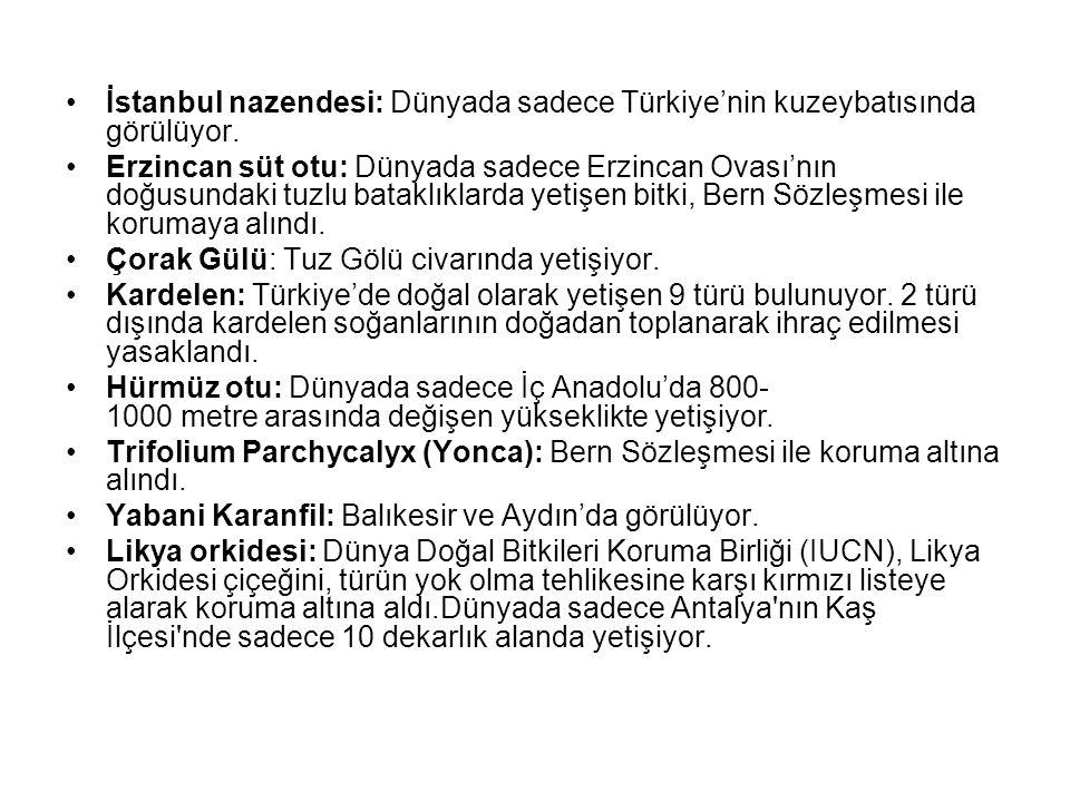 İstanbul nazendesi: Dünyada sadece Türkiye'nin kuzeybatısında görülüyor.