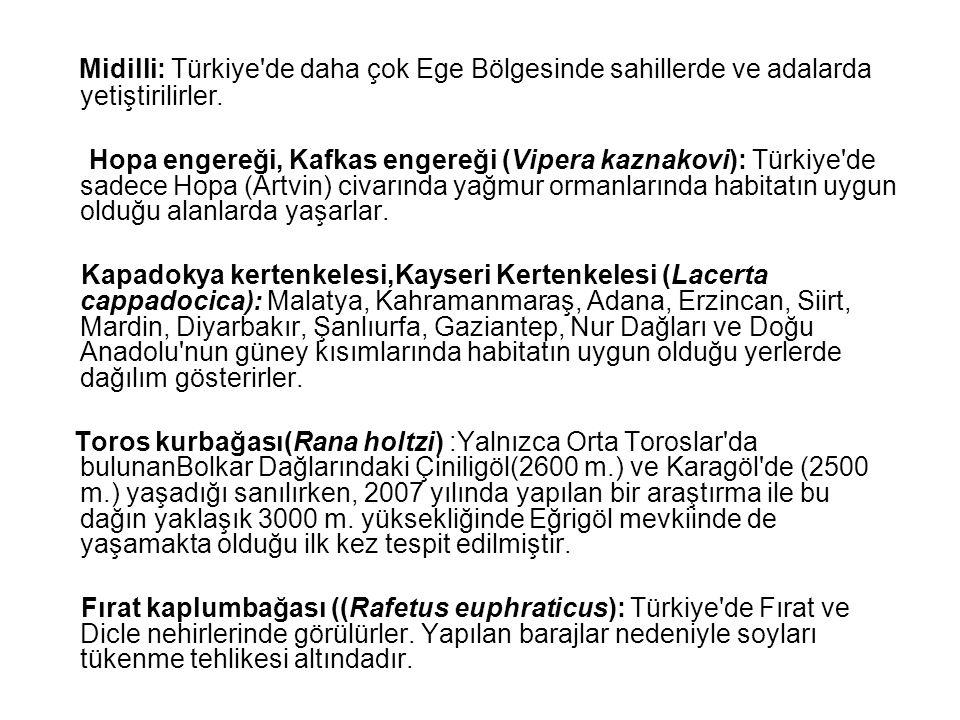 Midilli: Türkiye de daha çok Ege Bölgesinde sahillerde ve adalarda yetiştirilirler.