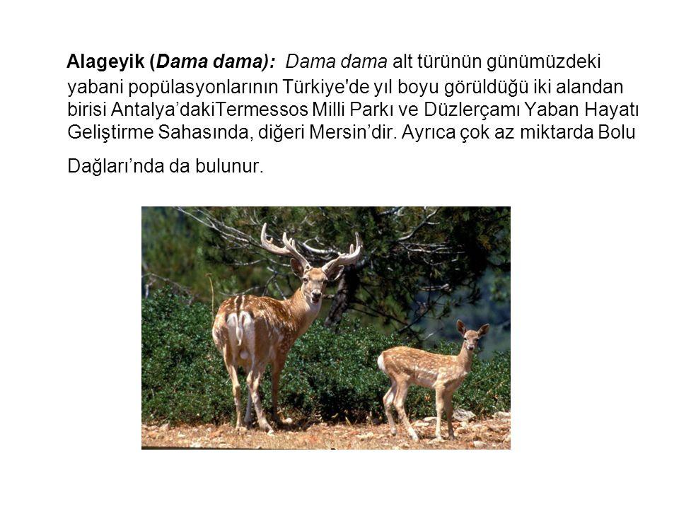 Alageyik (Dama dama): Dama dama alt türünün günümüzdeki yabani popülasyonlarının Türkiye de yıl boyu görüldüğü iki alandan birisi Antalya'dakiTermessos Milli Parkı ve Düzlerçamı Yaban Hayatı Geliştirme Sahasında, diğeri Mersin'dir.
