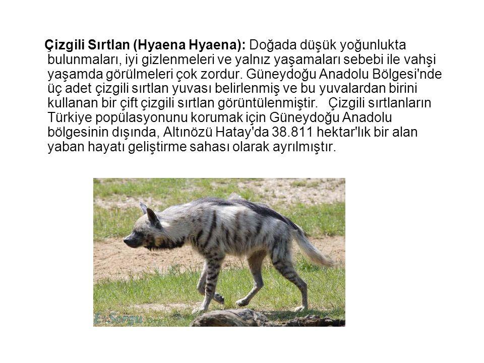 Çizgili Sırtlan (Hyaena Hyaena): Doğada düşük yoğunlukta bulunmaları, iyi gizlenmeleri ve yalnız yaşamaları sebebi ile vahşi yaşamda görülmeleri çok zordur.