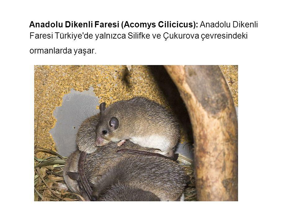 Anadolu Dikenli Faresi (Acomys Cilicicus): Anadolu Dikenli Faresi Türkiye de yalnızca Silifke ve Çukurova çevresindeki ormanlarda yaşar.