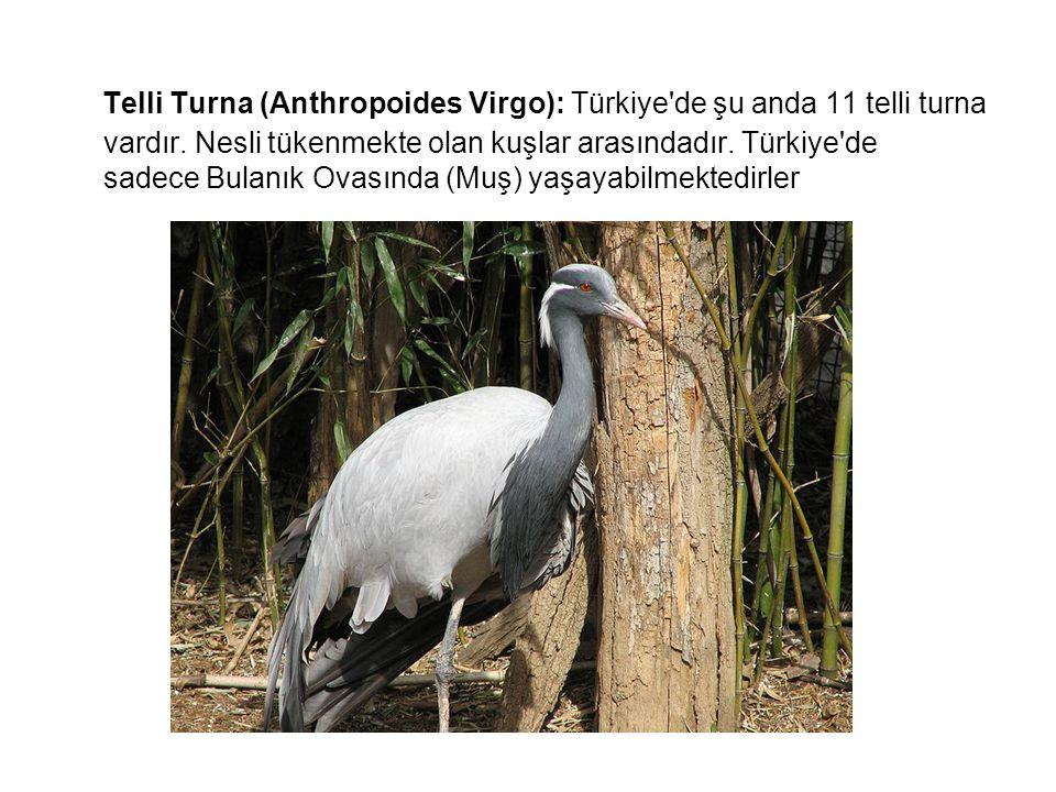 Telli Turna (Anthropoides Virgo): Türkiye de şu anda 11 telli turna vardır.