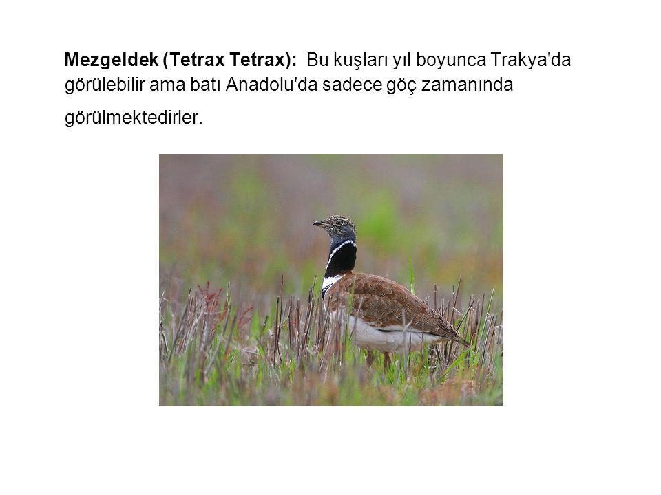 Mezgeldek (Tetrax Tetrax): Bu kuşları yıl boyunca Trakya da görülebilir ama batı Anadolu da sadece göç zamanında görülmektedirler.
