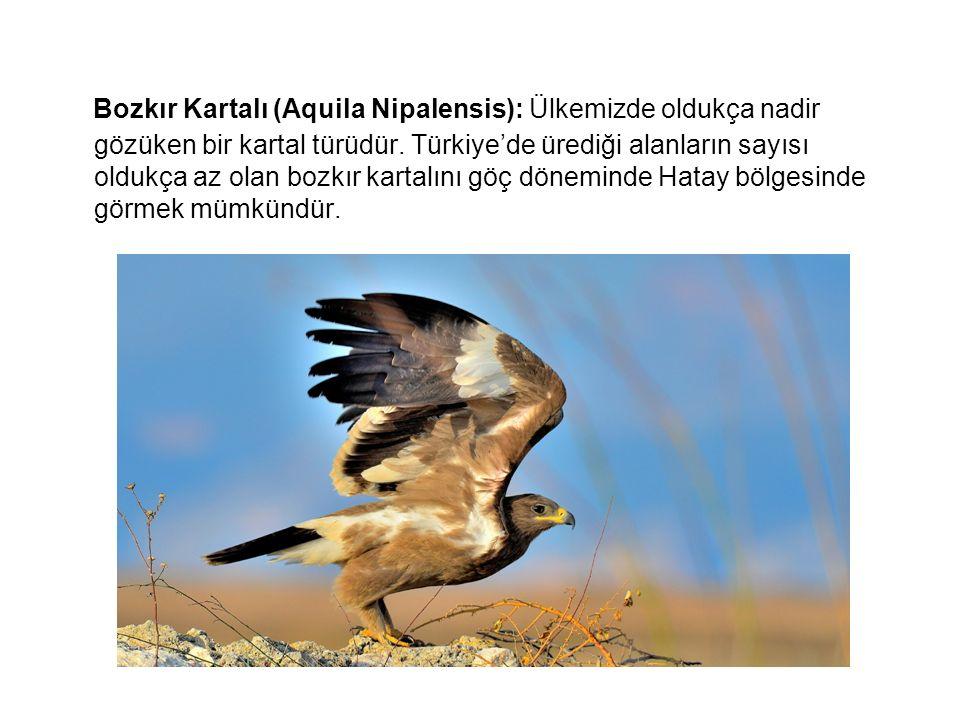 Bozkır Kartalı (Aquila Nipalensis): Ülkemizde oldukça nadir gözüken bir kartal türüdür.