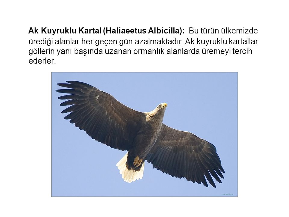 Ak Kuyruklu Kartal (Haliaeetus Albicilla): Bu türün ülkemizde ürediği alanlar her geçen gün azalmaktadır.