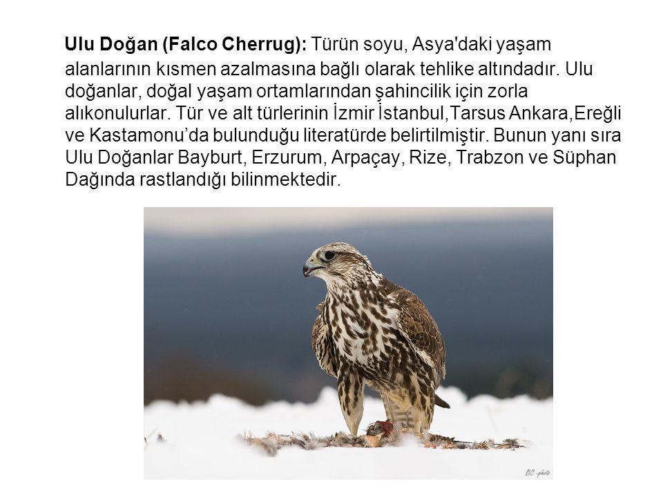 Ulu Doğan (Falco Cherrug): Türün soyu, Asya daki yaşam alanlarının kısmen azalmasına bağlı olarak tehlike altındadır.