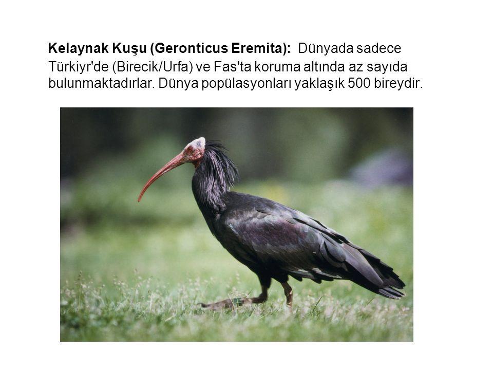 Kelaynak Kuşu (Geronticus Eremita): Dünyada sadece Türkiyr de (Birecik/Urfa) ve Fas ta koruma altında az sayıda bulunmaktadırlar.